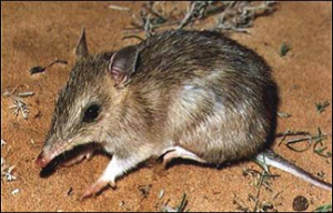 The bandicoot – a natural host of the paralysis tick