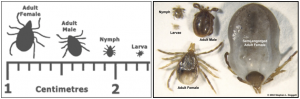 The sizes of paralysis ticks through their life stages