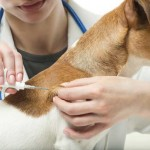 Microchip-Implantation-Dog-