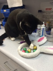 Joey helping himself to some chocolate that is very toxic to pets (NB he didn't actually eat any).