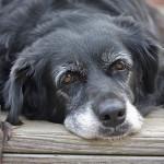north shore vet, gordon vet, pet health check, dog health check, dog health problems