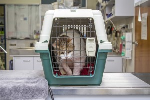 Missy being transported to Gordon Vet in the correct fashion.